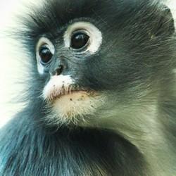 Dromerig aapje