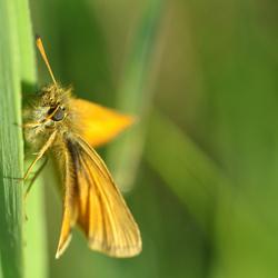 Dikkopje (Hesperiidae)