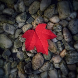A Perfect Red Leaf