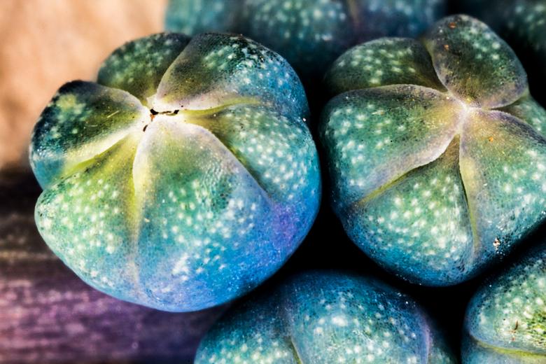 Blauwe druif - Een extreme macro van blauwe druifjes.