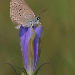 Gentiaanblauwtje op waardplant