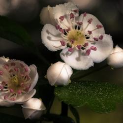 Meidoorn, nu volop in de bloei.