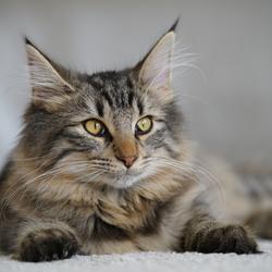 Daisy, Noorse Boskat kitten