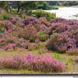 Paarse-Heide 1