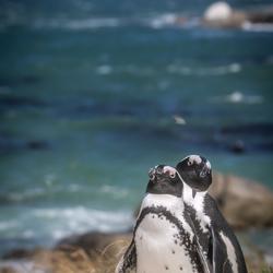 Pinguïns South Africa