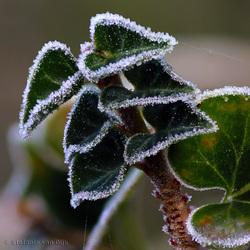 Frosty hedera