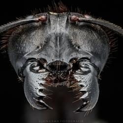 Portret van een Mier   (gigas)