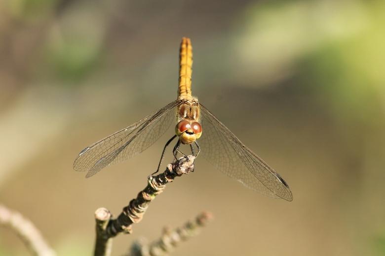 Ready to Fly - Libelle op de heide in Echten