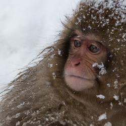 jonge Makake aap