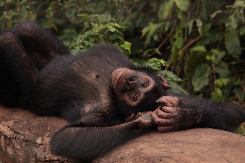 Chimpansee - 't zijn net mensen. De chimpansee ging er eens heerlijk voor liggen. De manier waarop hij op zijn rug ging liggen en daarna weer op