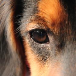 doggy's eye