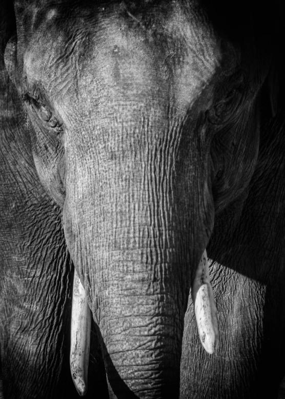 aziatische olifant  -
