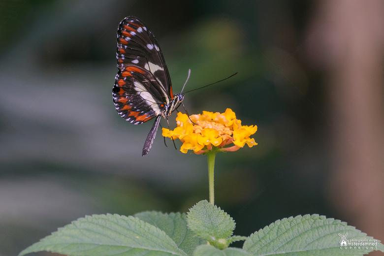 Vlinders aan de Vliet - Geen idee hoe deze vlinder heet. Blijft altijd lastig om de naam op te zoeken als ze de vleugels gesloten hebben, want de bove