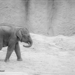 De eenzame olifant