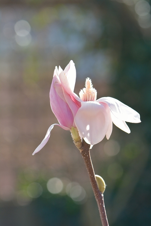 Magnolia met tegenlicht