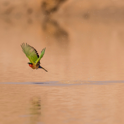 drinking bee eater