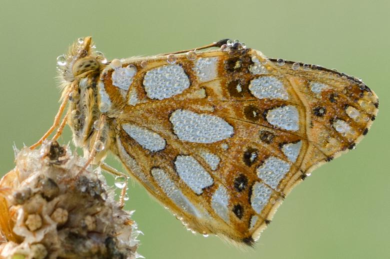 Details! - Sneu voor deze mooie vlinder dat je onder de dauw geen kant op kan; maar gaf mij wel mooi de gelegenheid om van dichtbij een foto te maken.