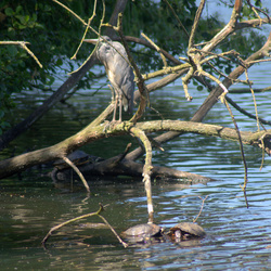 Een reiger en 3 waterschildpadden