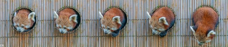 De rode panda. -