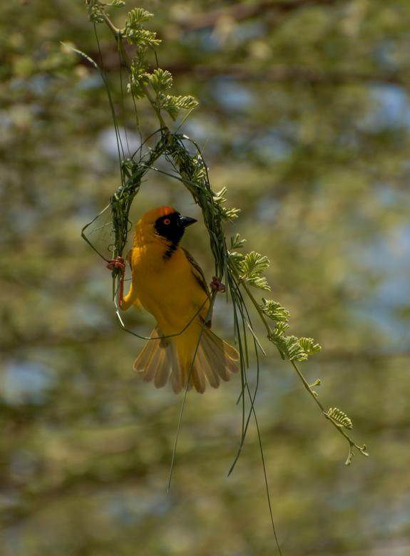 Yellow Weaver - Bouwt zijn nestje. Tijdens een lunch in Onguma, Namibie zag ik wat bewegen in mijn ooghoek. Ik stond op met mijn camera kwam dichterbi