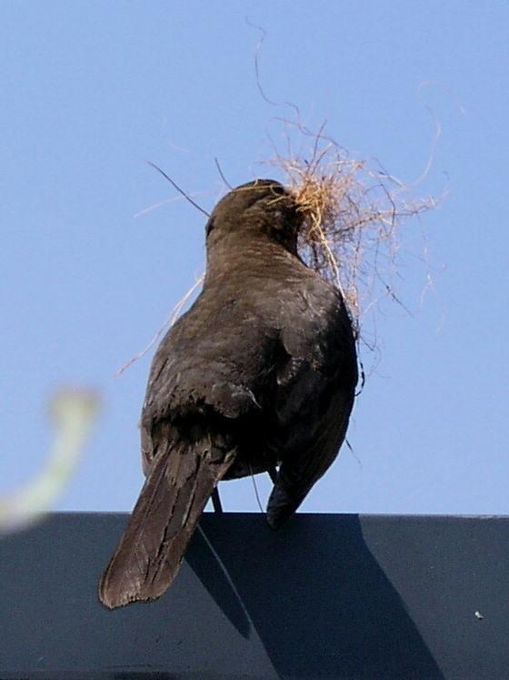 Druk bezig.... - Een Merel die druk bezig is een nestje te bouwen in de heg in mijn tuin. Heel leuk om te zien, ruiineerd wel de hele tuin.Plukt mn de