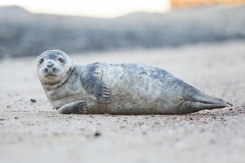 zeehond op strand Renesse - Weekendje weg naar Renesse, en 's ochtends vroeg zeehonden gaan spotten. Voor velen misschien niet zo bijzonder, maar