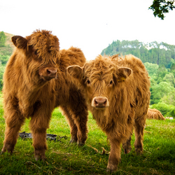 Highland kalfjes