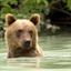 Katmai Alaska Grizzly