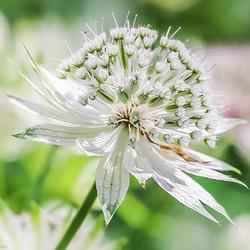 Wit bloeiende Astrantia