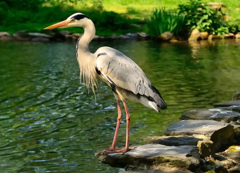 De jager. - Een van de mooiste vogels die er zijn.