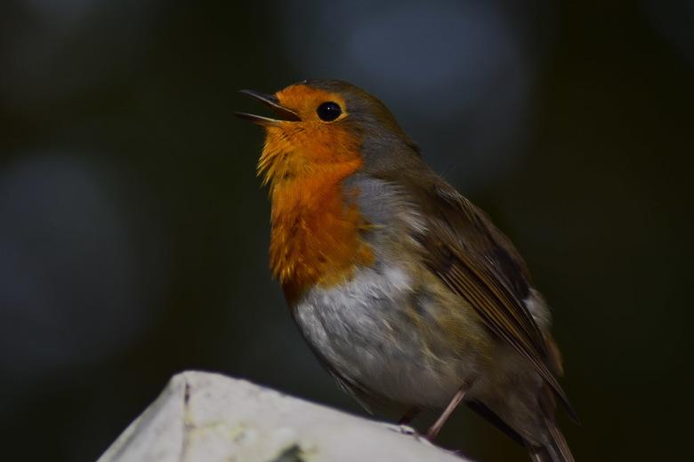 Singing Robin - Het eerste roodborstje dit jaar. Deze bleef zingend zo zitten om een foto te maken .