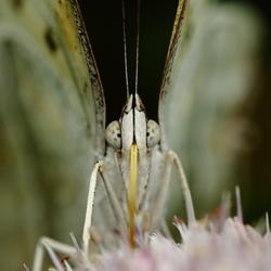 Butterfl-eye