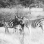 Zebra's in Etosha National Park