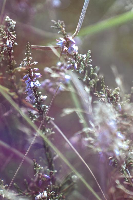 Heidebloem -