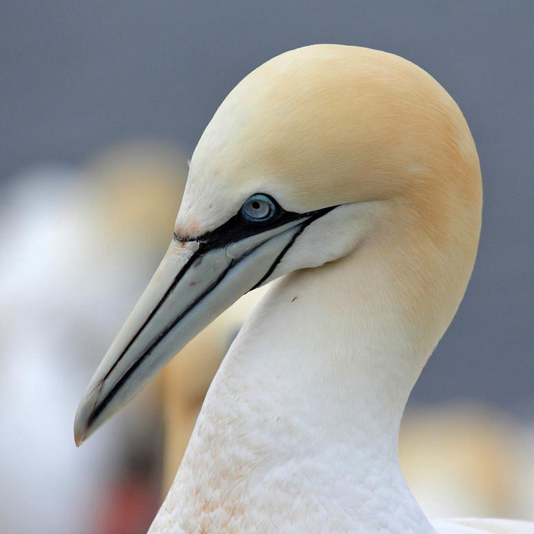 Jan-van gent - Helgoland 2013.<br /> Wat heb ik genoten van deze mooie vogels.<br />