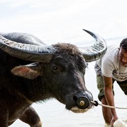 Buffalo wash