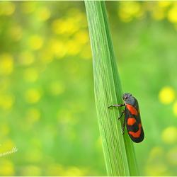 Rode Cicade........
