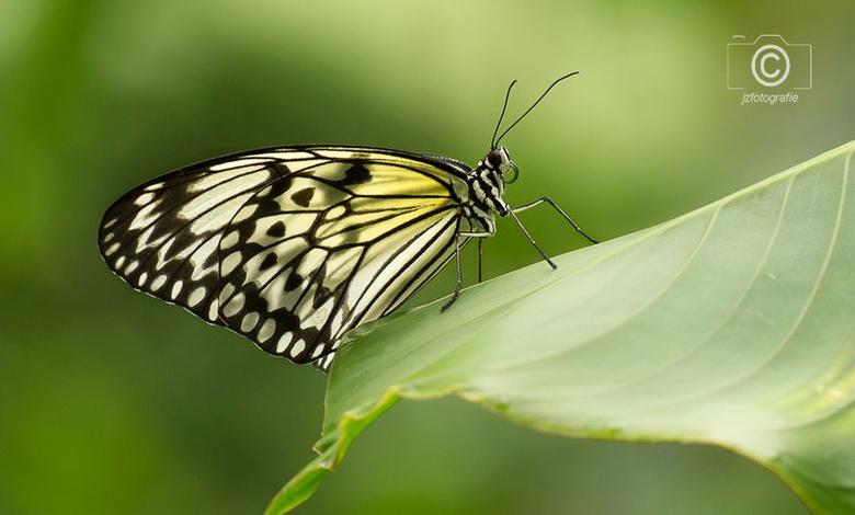 Vlinder  - Even een oudere opname , <br /> deze is gemaakt in de Noord-Hollandse vlindertuin van Vlindorado in Waarland.<br /> <br /> Zoomers ik be