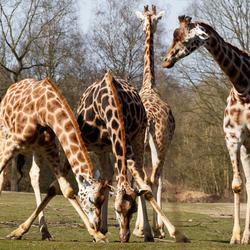 Giraffen - Hé wat hebben jullie daar