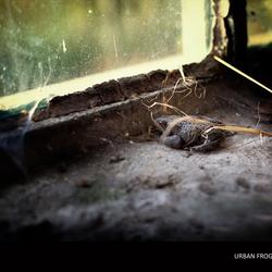 Urban frog