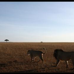 Leeuwen op weg