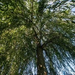 Treurwilg Salix babylonica