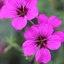 Paarse bloemetjes