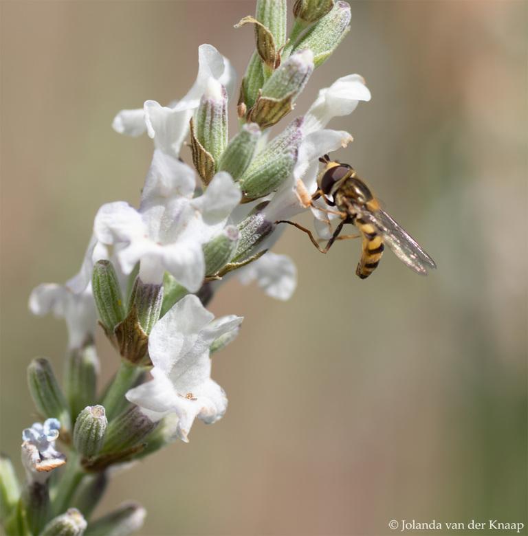 Zweefvliegje op witte lavendel - Op onze witte lavendel komen veel insecten op af, zo ook zweefvliegjes.