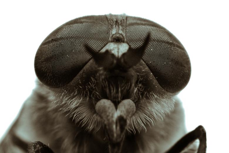 Pretty eyes - Closeup van een vliegje. <br /> Met kitlens 18-55mm en tussenringen.