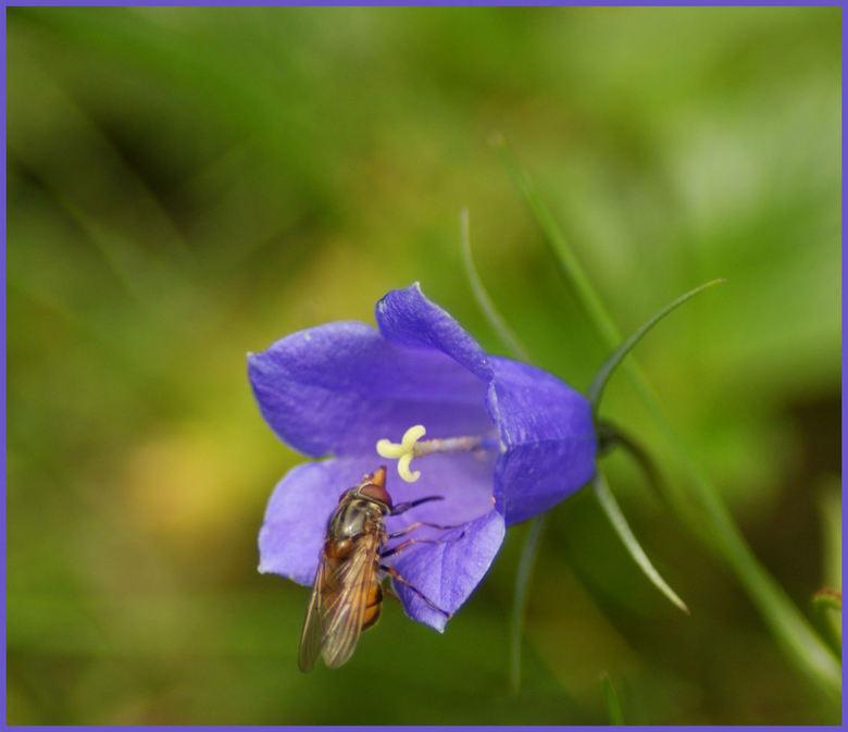 Beestje op bloem - Ik noemde het eerst een vlieg maar denk dat het dat niet is...zo een puntige snuit heeft een vlieg niet, toch?