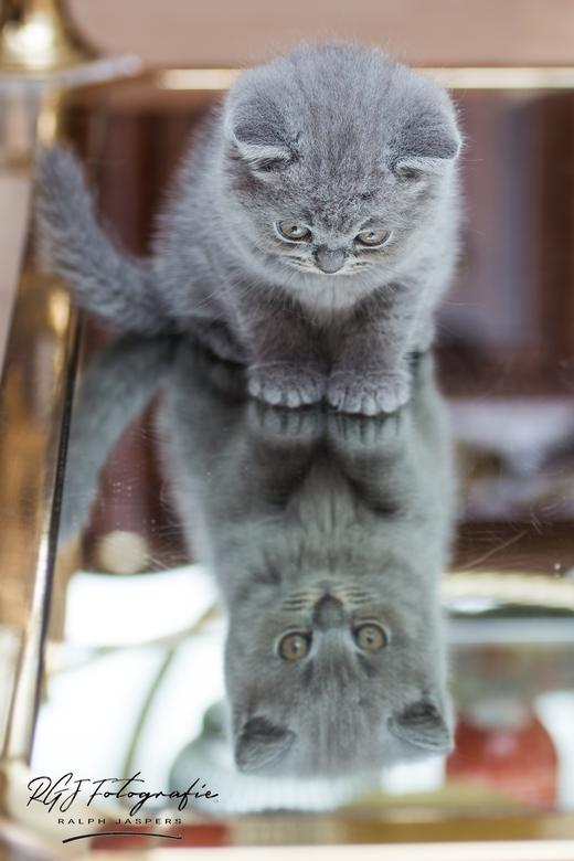 Kitten britse korthaar