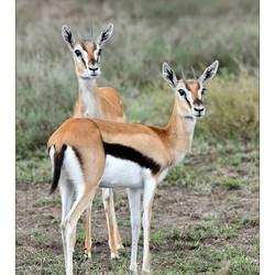 Curious Gazelle