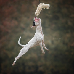 Jumping staffie