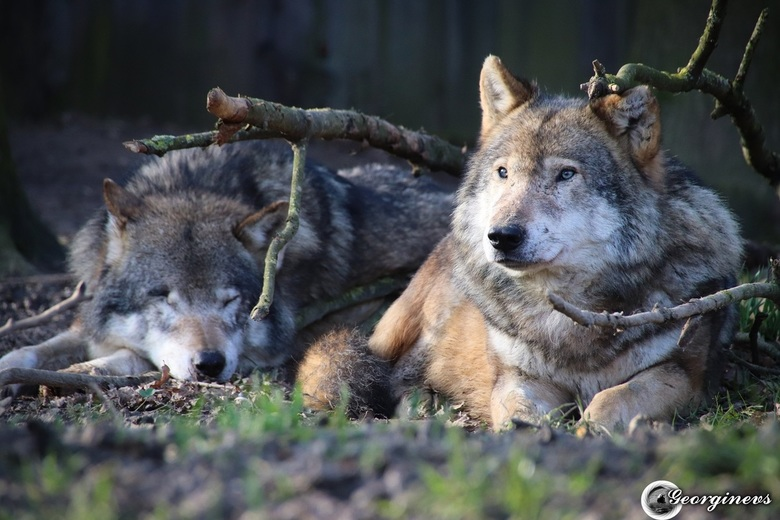 Wolven -